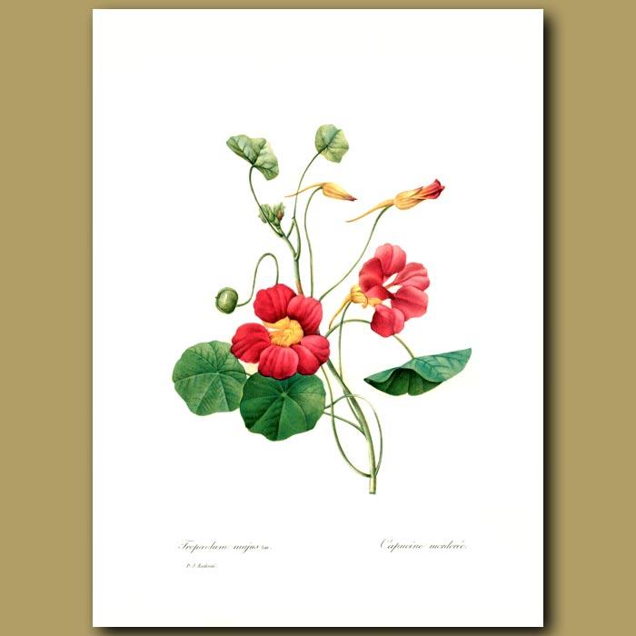 Antique print. Nasturtium