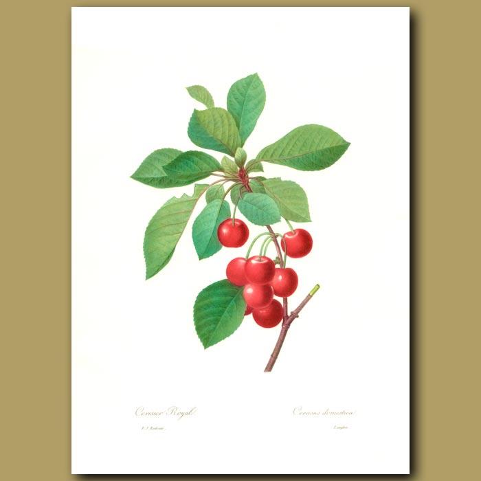 Antique print. Cherry