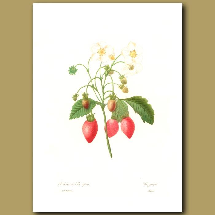 Antique print. Strawberry