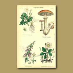 Vegetable Poisons: Alpine Crowfoot, Amanita Toadstool, Foxglove, Xmas Rose