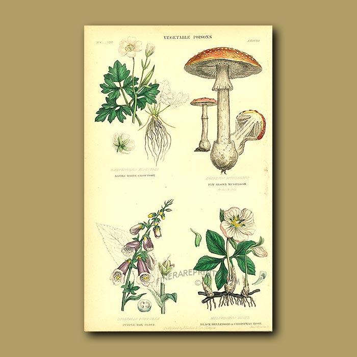 Antique print. Vegetable Poisons: Alpine Crowfoot, Amanita Toadstool, Foxglove, Xmas Rose