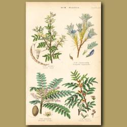Gum Plants: Gum Arabic, Tragacanth, Olibanum, Mastic