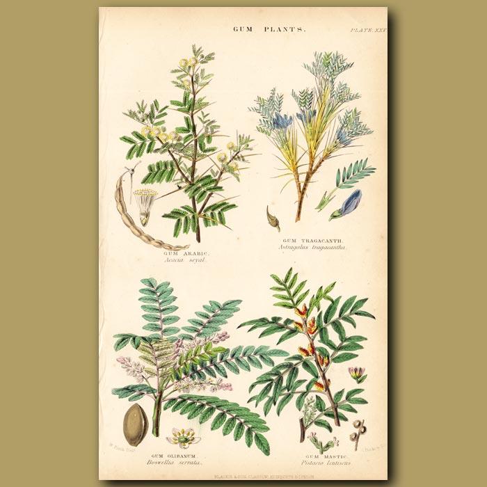 Antique print. Gum Plants: Gum Arabic, Tragacanth, Olibanum, Mastic