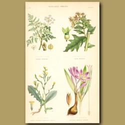 Vegetable Poisons: Saffron, Hemlock, Henbane, Strong Scented Lettuce