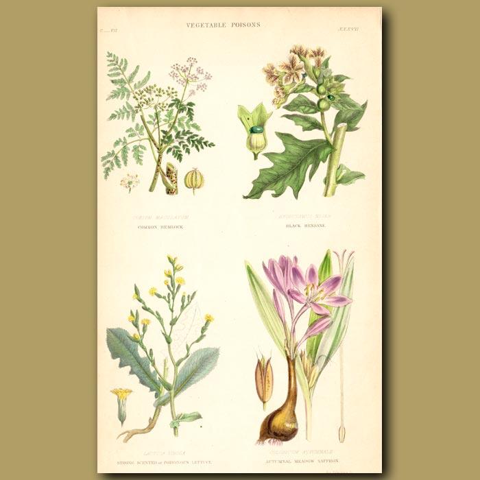 Antique print. Vegetable Poisons: Saffron, Hemlock, Henbane, Strong Scented Lettuce