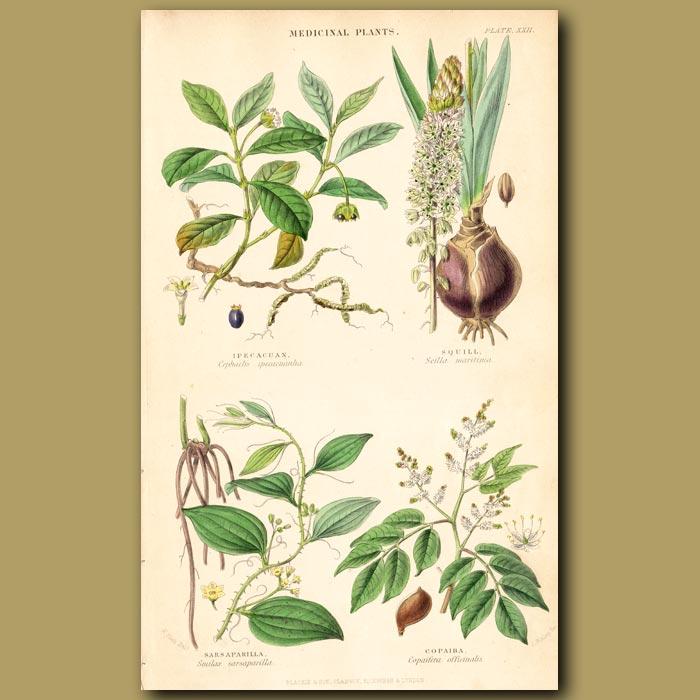 Antique print. Medicinal Plants: Ipecacuan, Squill, Sarsaparilla, Copaiba