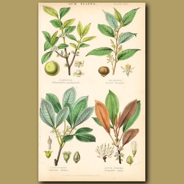 Antique print. Gum Plants: Gamboge, Benzoin, Caoutchouc, Gutta Percha