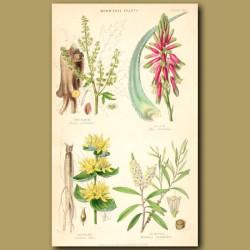 Medicinal Plants: Rhubarb, Aloe, Gentian, Cajeput