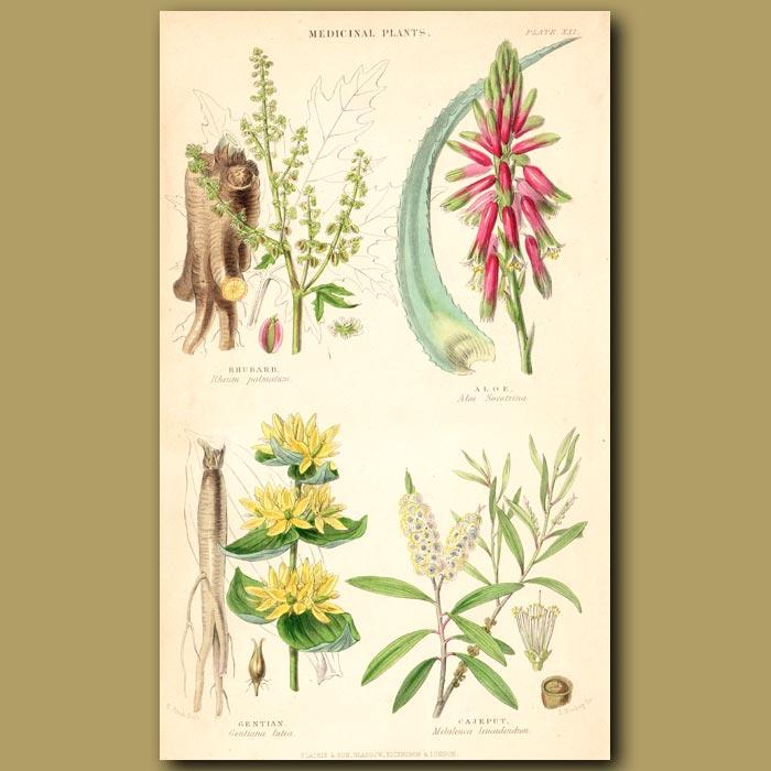 Antique print. Medicinal Plants: Rhubarb, Aloe, Gentian, Cajeput