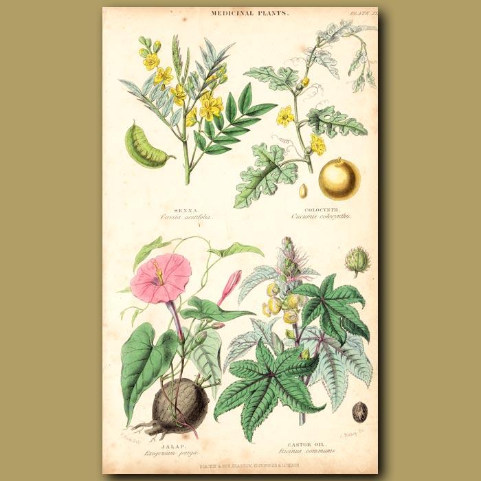 Antique print. Medicinal Plants: Senna, Colocynth, Jalap, Castor Oil