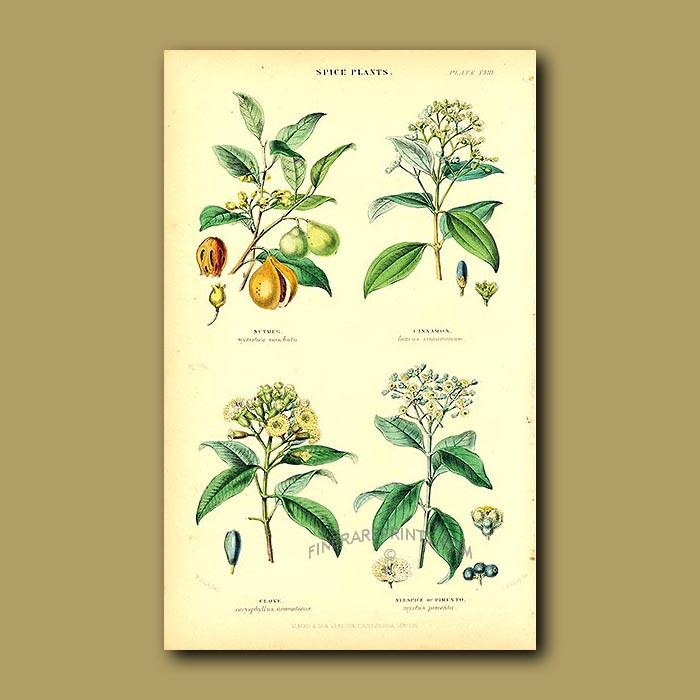 Antique print. Spice Plants: Nutmeg, Cinnamon, Clove, Allspice Or Pimento