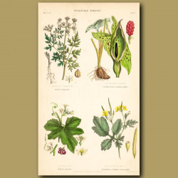Vegetable Poisons: Fool's Parsley, Cuckoo Pint, White Bryony, Celandine