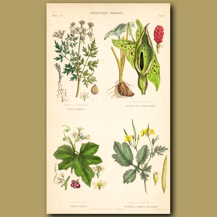 Antique print. Vegetable Poisons: Fool's Parsley, Cuckoo Pint, White Bryony, Celandine