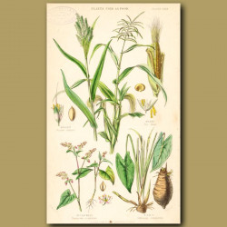 Plants Used As Food: Millet, Maize, Buckwheat, Taro