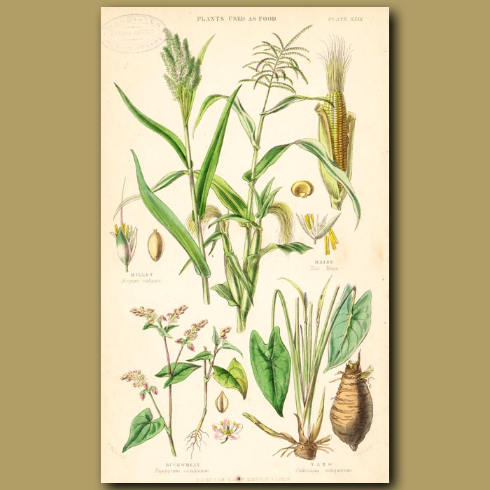 Antique print. Plants Used As Food: Millet, Maize, Buckwheat, Taro