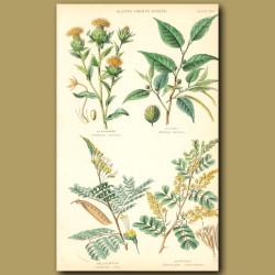 Plants Used In Dyeing: Safflower, Fustic, Brazil Wood, Logwood