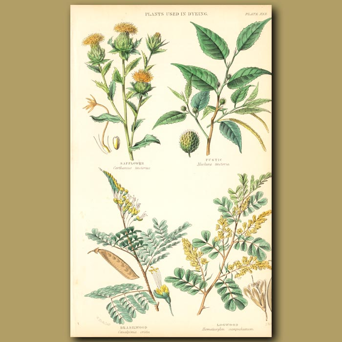 Antique print. Plants Used In Dyeing: Safflower, Fustic, Brazil Wood, Logwood