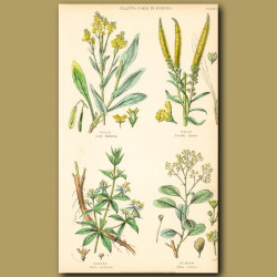 Plants Used In Dyeing: Woad, Weld, Madder, Sumach