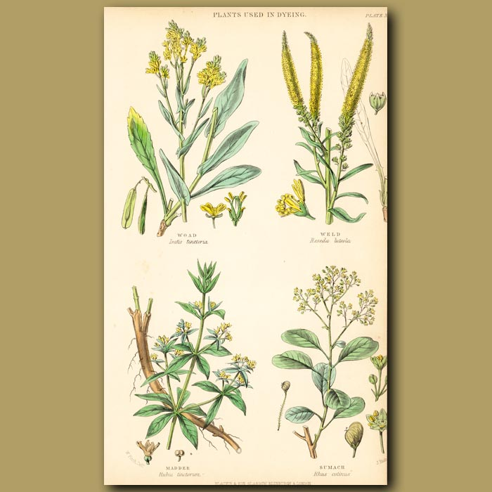 Antique print. Plants Used In Dyeing: Woad, Weld, Madder, Sumach