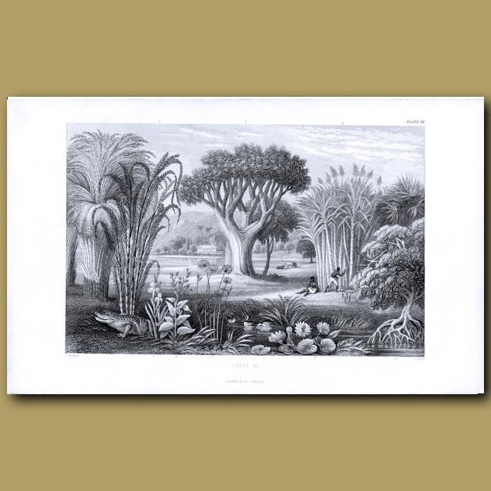 Antique print. Canes: Bamboo, Indian Cane, Sugar Cane, Papyrus