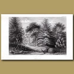 Pine Trees: Douglas Pine, Screw Pine, Deodar, Brazilian Pine