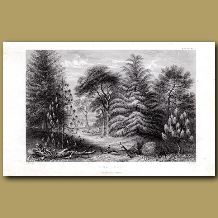 Antique print. Pine Trees: Douglas Pine, Screw Pine, Deodar, Brazilian Pine