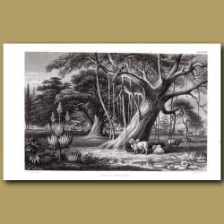 Tropical Trees: Banyan, Baobab, Umbrella Trees