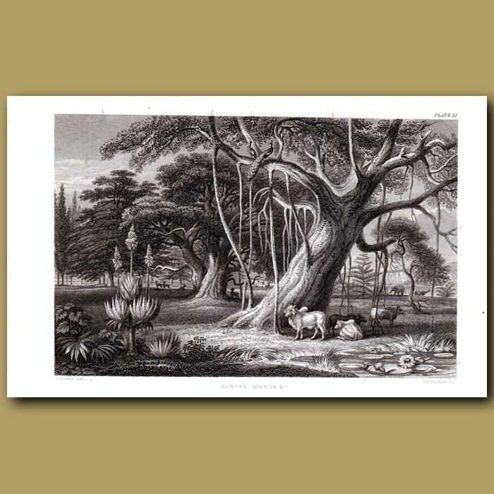Antique print. Tropical Trees: Banyan, Baobab, Umbrella Trees