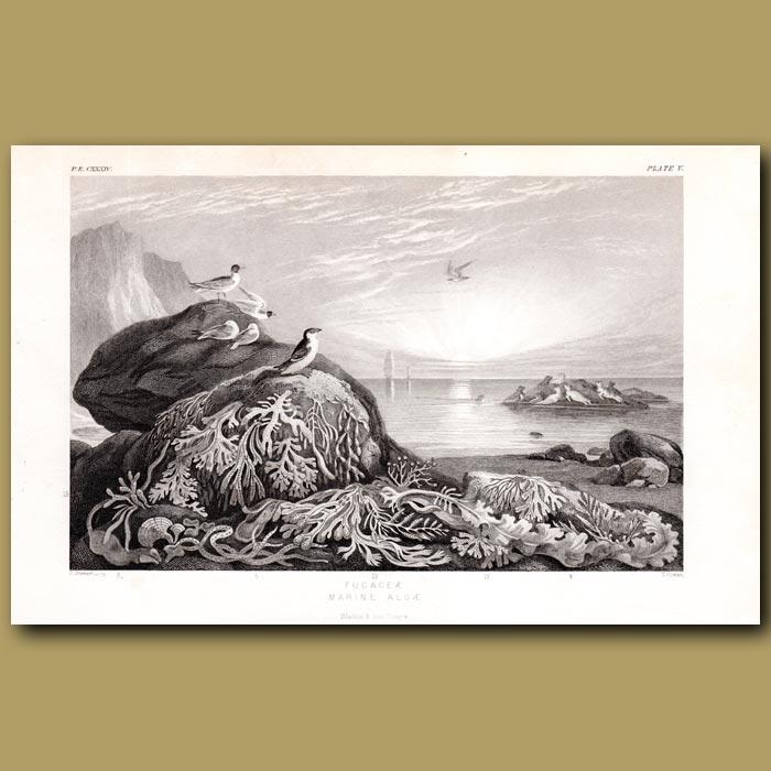 Antique print. Marine Algae