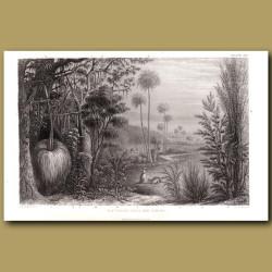 Australian Trees And Shrubs: Gum Tree, Wattle Tree, Captain Cook's Tea Tree, Cabbage Palm