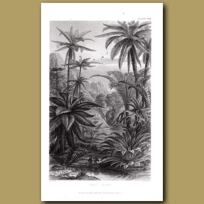 Antique print. Tree Ferns