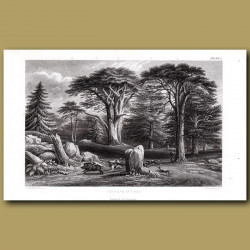 Pine Trees: Silver Fir, Scotch Pine, Larch, Cedar, Spruce
