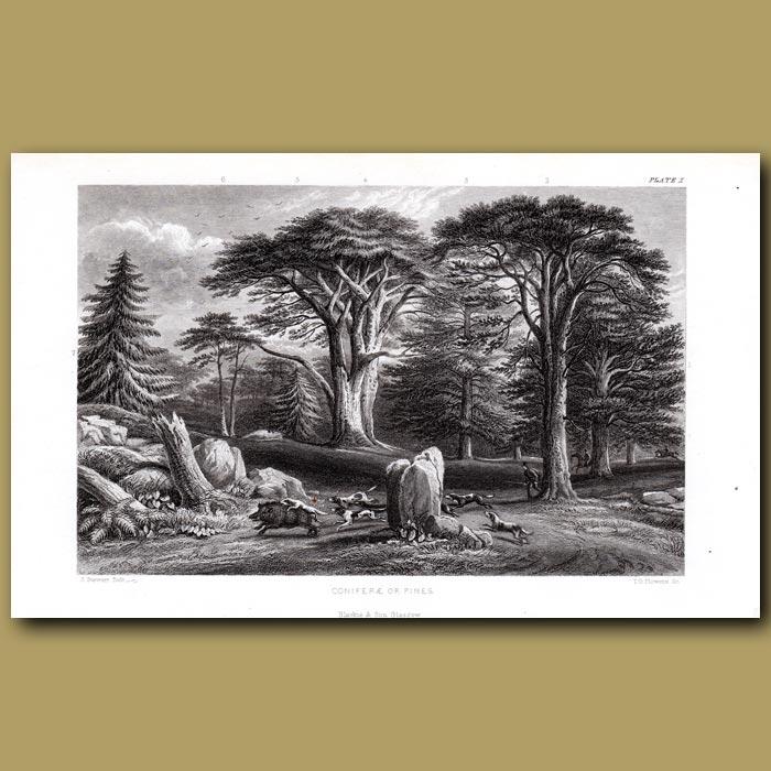 Antique print. Pine Trees: Silver Fir, Scotch Pine, Larch, Cedar, Spruce
