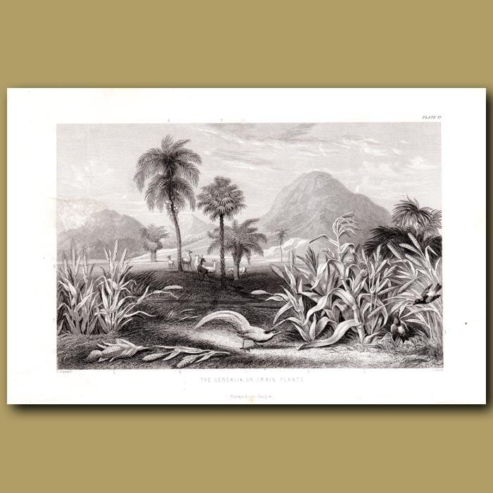 Antique print. Grain Plants: Maize, Rice, Millet, Wheat, Wax Palm