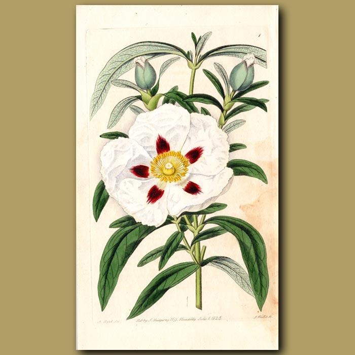 Antique print. Spotted-flowered flat-leaved Gum Cistus