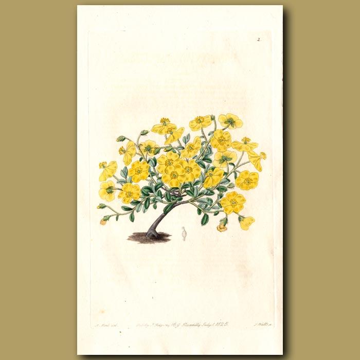 Antique print. Alpine Sun Rose