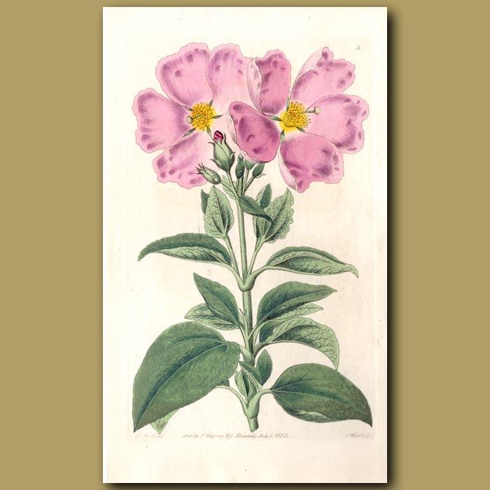 Antique print. Canary Island Rock Rose