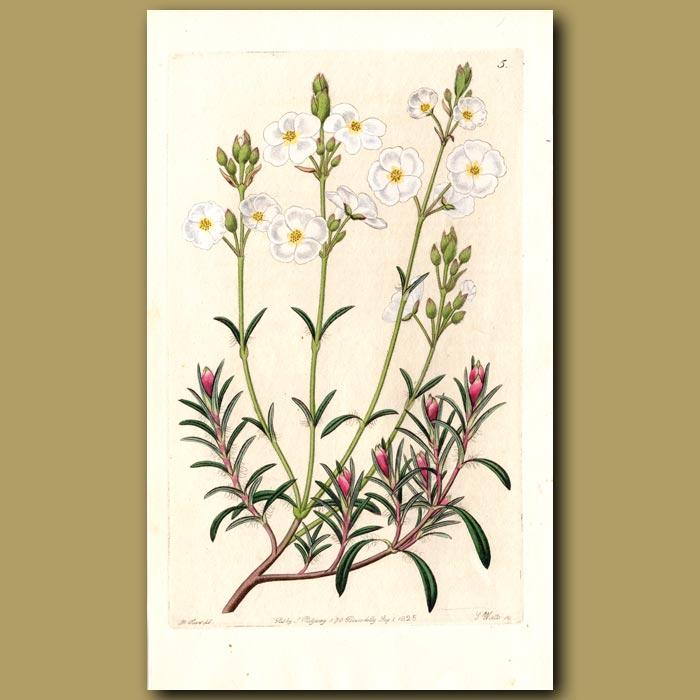 Antique print. Umbel-flowered Sun Rose