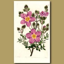 Various-leaved Rock Rose