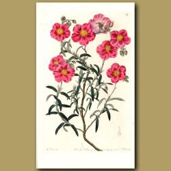 Dark rose-coloured Sun Rose