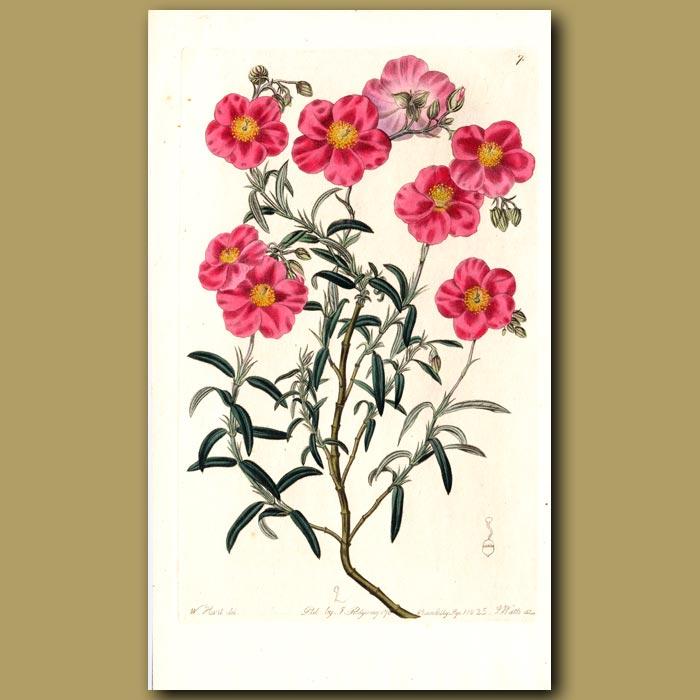 Antique print. Dark rose-coloured Sun Rose