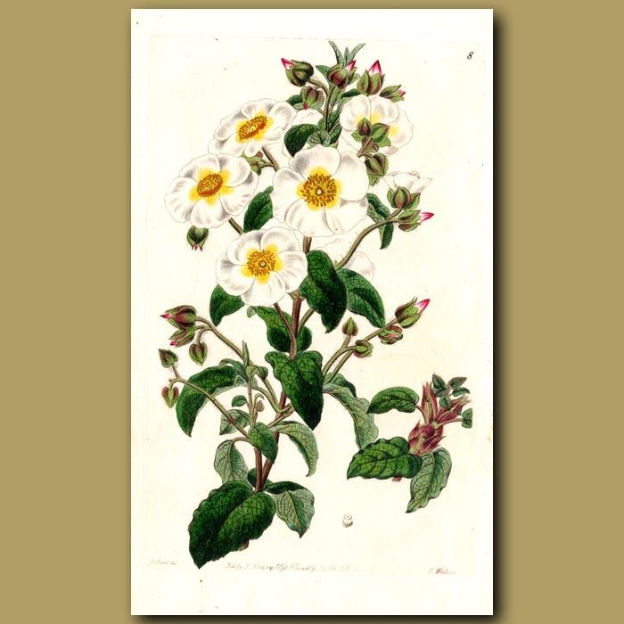 Antique print. Mountain Rock Rose