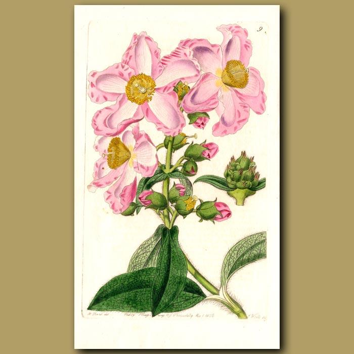 Antique print. Oblong-leaved Rock Rose