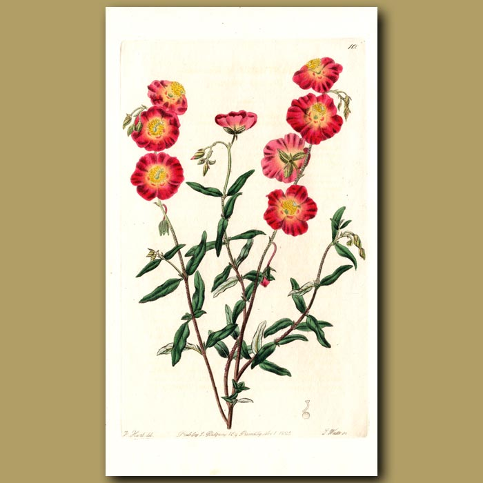 Antique print. Charming Sun Rose