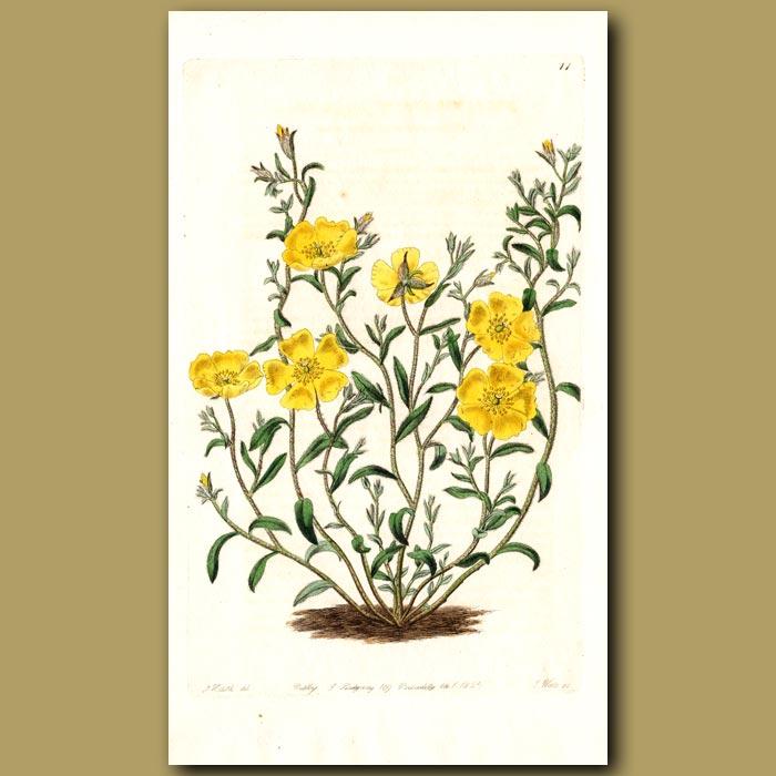 Antique print. Milkwort-leaved Sun Rose