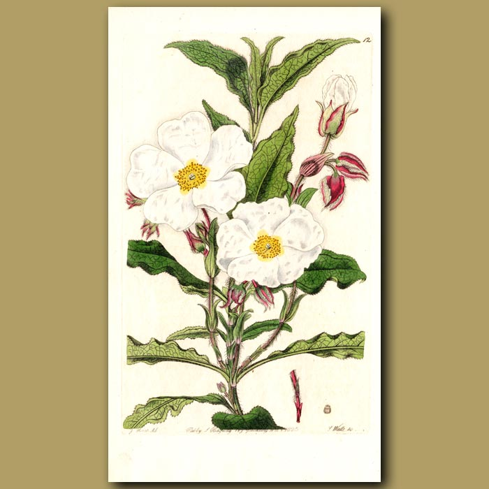 Antique print. Broad waved-leaved Rock Rose