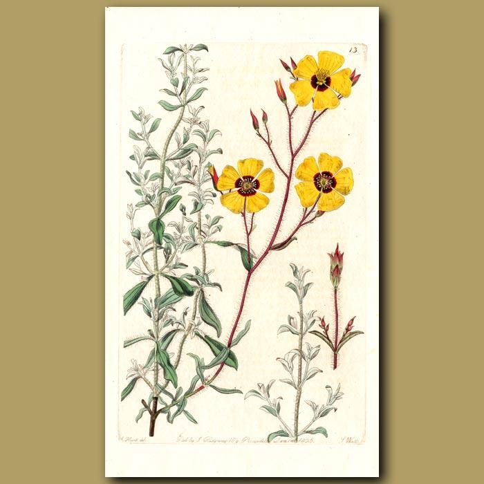 Antique print. Basil-like Sun Rose