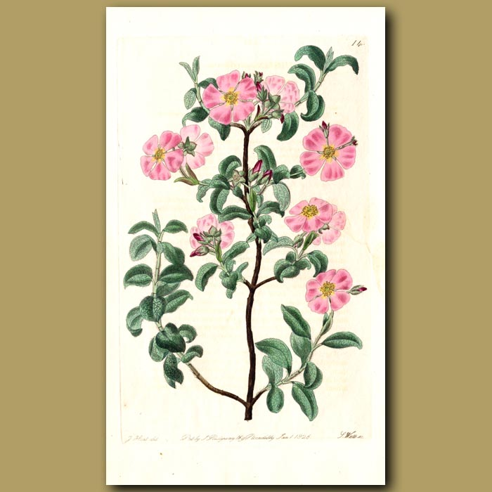Antique print. Small-flowered Rock Rose