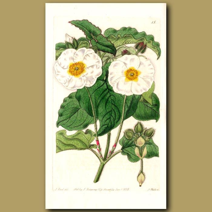 Antique print. Broad-leaved Rock Rose