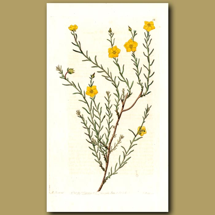 Antique print. Heath-like Sun Rose
